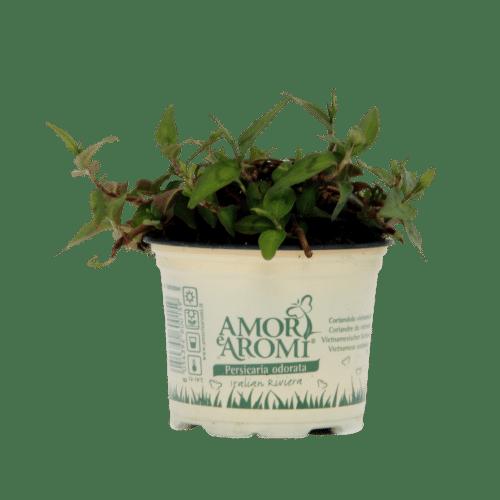 pianta di coriandolo