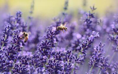 Lavanda, pianta amica delle api